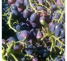 Box uva nera BIO varietà cardinale