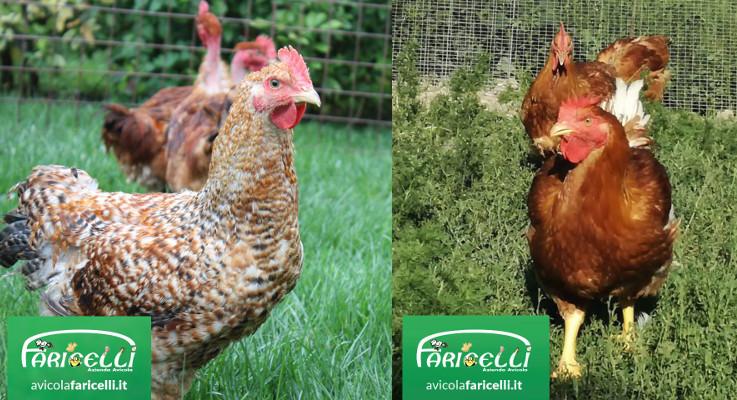 Avicola faricelli, carne e uova